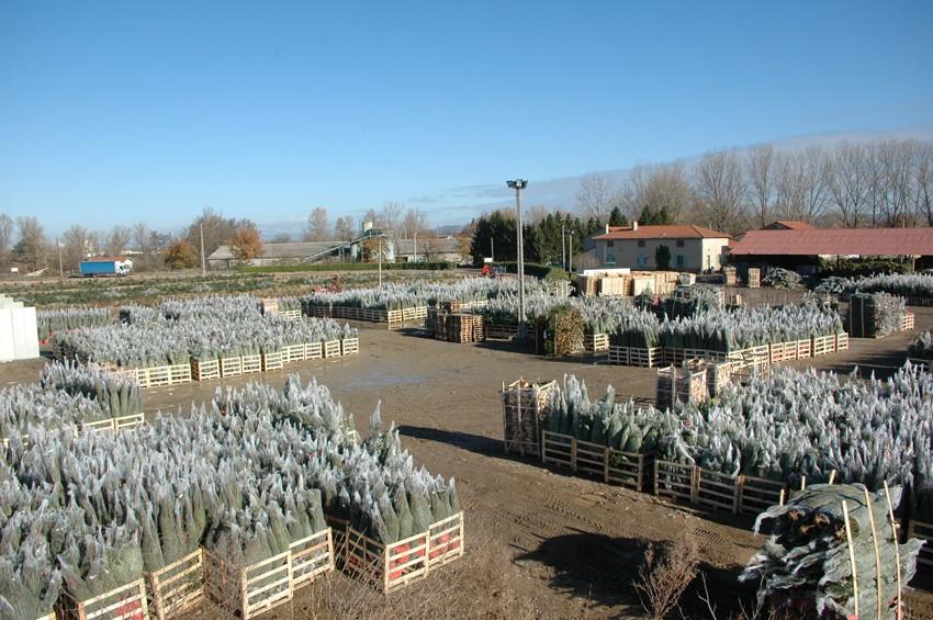 sapins de noël français - pépinière grange - zone de chargement