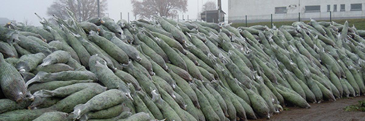 sapins de noël français - pépinière grange - vrac