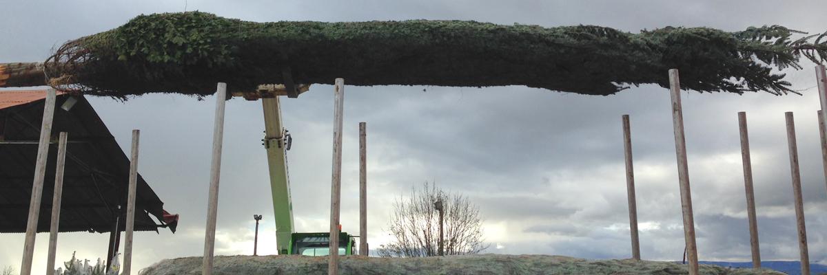 sapins de noël français - pépinière grange - grande taille