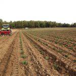 sapins de noël français - pépinière grange - plantation de jeune plants