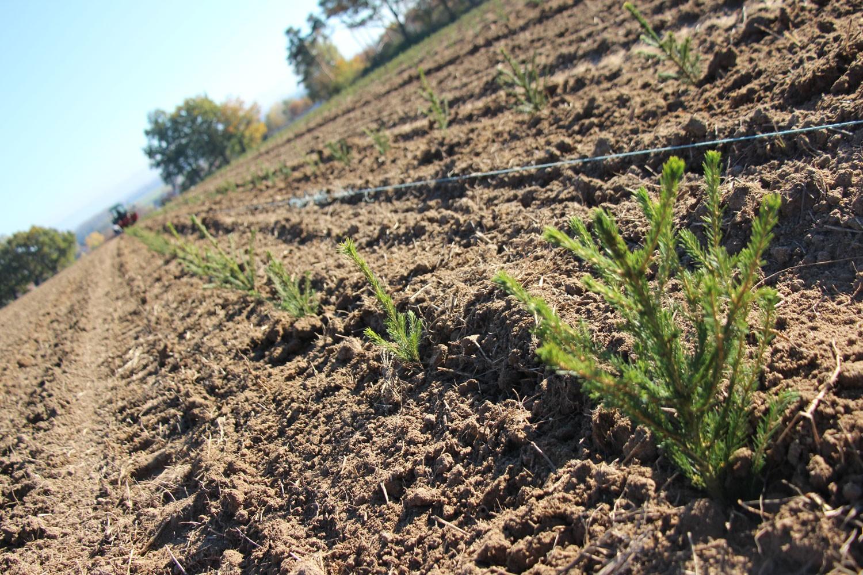 sapins de noël français - pépinière grange - plantation des sapins