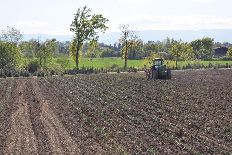 sapins de noël français - pépinière grange - plantation plein champ