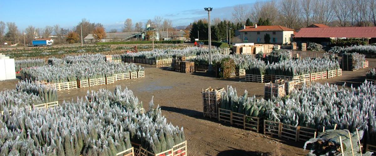SAPIN DE NOËL : Pépinière GRANGE, Producteur de Sapins de Noël